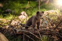 То, что вы не знали о буром медведе